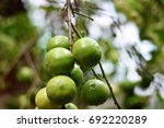 Small photo of Lime fruits comes out during rainy season it's over demand and price come sown, many houses have it as a common trees in garden.