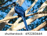 A Hyacinth Macaw  At Natural...