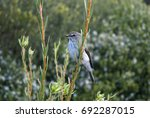 Small photo of African dusky flycatcher sitting on a reed in the kirstenbosh gardens in south Africa cape town