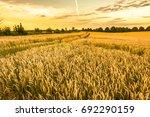 golden wheat field and sunset... | Shutterstock . vector #692290159