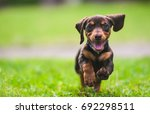 Stock photo portrait of a small dog running 692298511