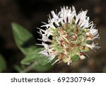 Small photo of Monardella odoratissima, Mountain coyote mint, Mountain beebalm, Mountain pennyroyal, perennial herb with opposite smooth edged leaves and pale pink flowers in terminal heads.