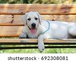 the little yellow labrador... | Shutterstock . vector #692308081