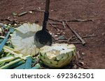 blue agave plant being... | Shutterstock . vector #692362501