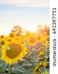 sunflowers in the sunset  ... | Shutterstock . vector #692397751
