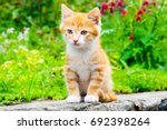 Stock photo little red kitten sitting in a blooming green garden cute young cat sitting in front and looking 692398264