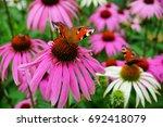 Echinacea Purpurea    White...