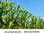 Fresh Corn Stalks On The Blue...