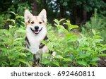 dog breed welsh corgi pembroke... | Shutterstock . vector #692460811