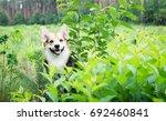 dog breed welsh corgi pembroke... | Shutterstock . vector #692460841