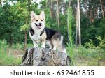 dog breed welsh corgi pembroke... | Shutterstock . vector #692461855