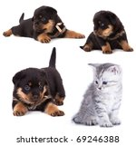 Stock photo purebred rottweiler puppy and kitten 69246388