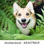 dog breed welsh corgi pembroke... | Shutterstock . vector #692479819