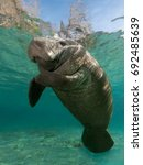 Small photo of Manatee surfacing.. This old manatee was surfacing for a breath in Crystal River Florida. They are very laid-back and relaxed souls. Huge but gentle.