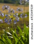 Small photo of Purple agapanthus flowers in garden in sunny day, selective focus