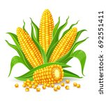 corncobs with yellow corns and... | Shutterstock .eps vector #692551411
