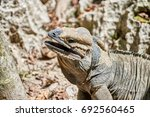 Small photo of Iguana with mouth open, red tongue and saliva in its natural habitat in the Caribbean, matching the coloration of its surroundings, trait known as Crypsis. On a hot day in full sun.