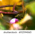 Green Beetle On Concord Grapes