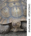 Small photo of vertical african spurred tortoise