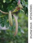 Small photo of Oroxylum indicum (L.) Kurz - Indian trumpet flower, damocles tree, broken bone