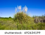 A Clump Of Cortaderia Selloana...