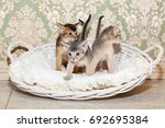 Stock photo cute kittens little purebred abyssinian kittens in the basket playing together ruddy abyssinian 692695384