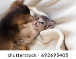 cute kittens. little purebred... | Shutterstock . vector #692695405