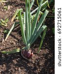 Small photo of Home Grown Organic Onion 'Mammoth Improved' (Allium cepa) Growing on an Allotment in a Vegetable Garden in Rural Somerset, England, UK