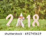 Stock photo shot of a cute wire fox terrier wearing party hat sitting near numbers forming for chinese new 692745619