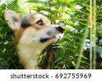 dog breed welsh corgi pembroke... | Shutterstock . vector #692755969