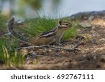Chipmunk With A Fluffy Tail On...