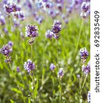 closeup detail of the lavender... | Shutterstock . vector #692835409