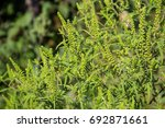 Ragweed Plants Causing Allergy