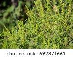 Ragweed Plants Causing Allergy