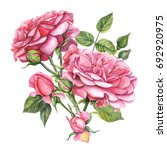 pink flower roses  watercolor | Shutterstock . vector #692920975