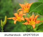 Blooming Orange Lily In Green...