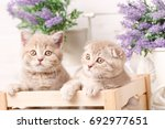 a couple of scottish creamy... | Shutterstock . vector #692977651
