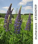 flowers of large leaved lupine  ... | Shutterstock . vector #693040909