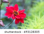 colorful red zinnia flowers. ... | Shutterstock . vector #693128305