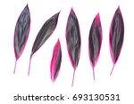 cordyline fruticosa isolated on ... | Shutterstock . vector #693130531