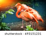 beautiful pink flamingo... | Shutterstock . vector #693151231