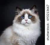 Stock photo head shot of young adult ragdoll cat isolated on black background 693213667