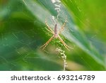 Argiope Bruennichi  Or Spider...