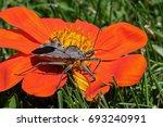 Wheel Bug Or Assassin Bug On...