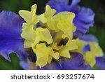 Small photo of Two-Tone Iris
