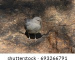 Small photo of American Dipper (Ouzel)