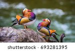Small photo of two male mandarin ducks show off their colors
