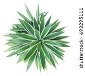 top view of agave in the...   Shutterstock . vector #693295111
