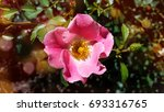 carefree beauty rose with pink... | Shutterstock . vector #693316765