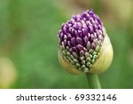 Giant purple allium bud just opening.  (Allium Giganteum)   Macro with extremely shallow dof. - stock photo